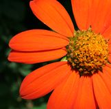 Oranje madeliefje stock afbeeldingen