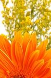 Oranje madeliefje royalty-vrije stock afbeelding