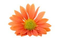 Oranje madeliefje Royalty-vrije Stock Afbeeldingen