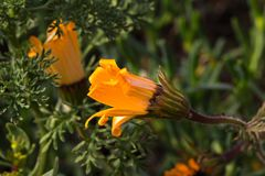 Oranje madeliefje wildflower knop royalty-vrije stock foto