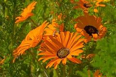 Oranje madeliefje wildflower in Zuid-Afrika royalty-vrije stock foto's