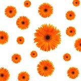 Oranje madeliefjeachtergrond royalty-vrije stock afbeelding