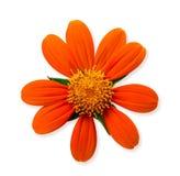 Oranje madeliefjebloem Stock Afbeelding
