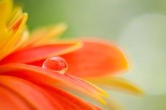 Oranje madeliefjekleur in een daling van water op een madeliefjebloem Stock Foto's