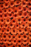 Oranje Madeliefjes Stock Afbeelding
