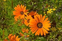 Oranje madeliefjewildflowers in Zuid-Afrika stock afbeelding