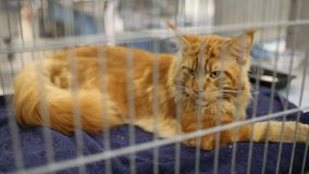 Oranje Maine Coon Cat At Exhibition stock video
