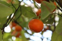 Oranje mandarijn op een boomtak royalty-vrije stock fotografie