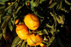 Oranje mandarin op de boom Rijpe mandarijn Stock Foto