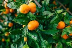 Oranje mandarin op de boom Rijpe mandarijn Mandari van Montenegro Stock Foto