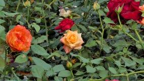 Oranje nam bloesem op bloemgebied toe stock footage