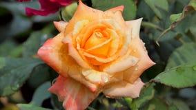 Oranje nam bloesem op bloemgebied toe stock videobeelden