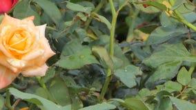 Oranje nam bloesem op het gebied van de rozenbloem toe stock videobeelden