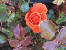 Oranje nam met bloemblaadjes toe stock foto