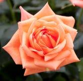 Oranje nam toe Stock Foto's