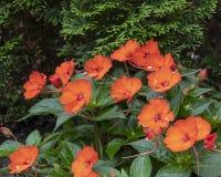 Oranje Nieuw-Guinea Impatiens met groene bladeren en pijnboomboom op achtergrond stock afbeelding
