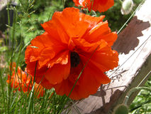 Oranje Oosterse Papaver Royalty-vrije Stock Afbeeldingen