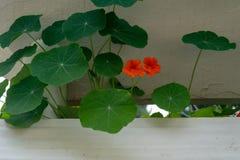 Oranje Oostindische kersbloemen in een pot van de cementbloem stock foto