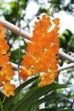 Oranje Orchideeën Stock Foto