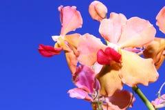 Oranje orchideeën met blauwe hemelachtergrond royalty-vrije stock foto