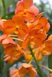 Oranje orchideeën (Vanda) Royalty-vrije Stock Foto's