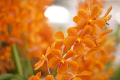 Oranje Orchidee royalty-vrije stock foto