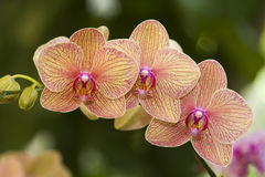 Oranje Orchidee royalty-vrije stock fotografie