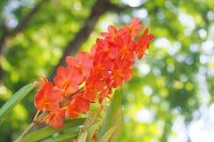 Oranje Orchidee Stock Afbeeldingen
