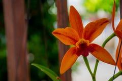 Oranje orchidee in de tuin royalty-vrije stock fotografie