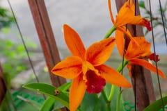 Oranje orchidee in de tuin stock afbeeldingen
