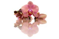 Oranje Orchidee en bezinning Stock Fotografie