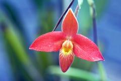 Oranje orchidee op blauwe achtergrond Royalty-vrije Stock Foto