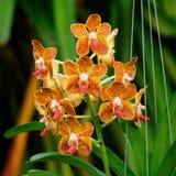 Oranje Orchideebloem - Vanda Stock Afbeelding