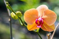 Oranje orchideebloemen in tuin Stock Fotografie