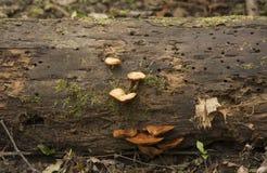 Oranje paddestoelen op een logboek stock foto's