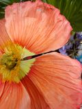 Oranje papaver stock foto