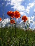 Oranje papaver Stock Fotografie
