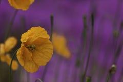 Oranje papaver Royalty-vrije Stock Foto's