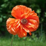 Oranje papaver Royalty-vrije Stock Afbeeldingen