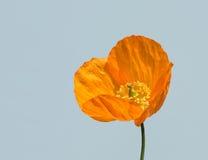 Oranje papaverbloem stock afbeeldingen