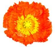 Oranje papaverbloem Royalty-vrije Stock Foto