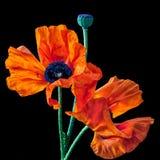 Oranje papavers stock fotografie