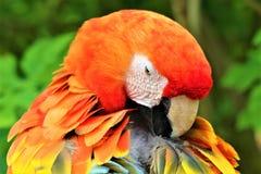 Oranje papegaai head2 Stock Foto