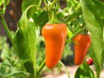 Oranje paprika stock fotografie