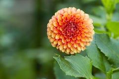 Oranje Perzikdahlia Stock Afbeelding