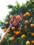 Oranje plukker Royalty-vrije Stock Afbeelding