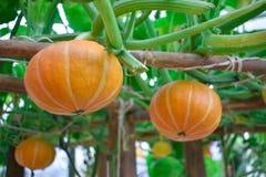 Oranje pompoen in de tuin stock foto's
