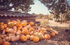 Oranje pompoenen in de werf royalty-vrije stock afbeeldingen