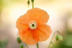Oranje Poppy Flower Blooming In Summer stock foto's