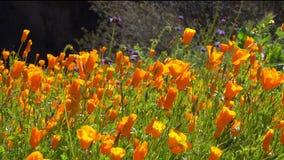 Oranje Poppy Flowers in een Weergeven die van links naar rechts tijdens een Super Bloei filteren stock footage